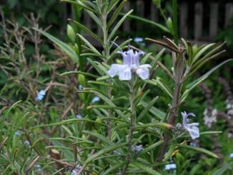 Rosmarin – eine Mars-Pflanze