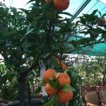 kleine Orangen