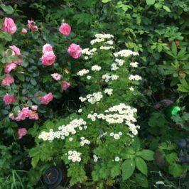 Rosen und Mutterkraut