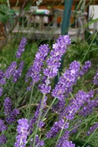 Lavendel ist nicht gleich Lavendel