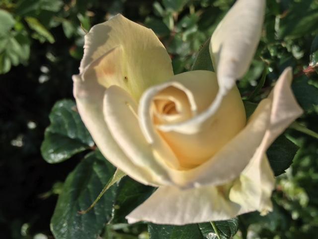 Eden-Rose weiß