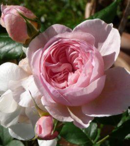 Leonardo-Rose