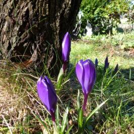Frühling-Krokus