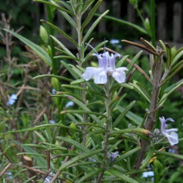 Rosmarin – Pflanze der Vielfalt